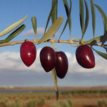 Aceite picual oliva virgen extra