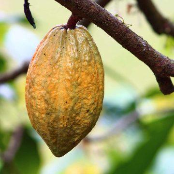 Oriehn e historia del chocolate y el cacao